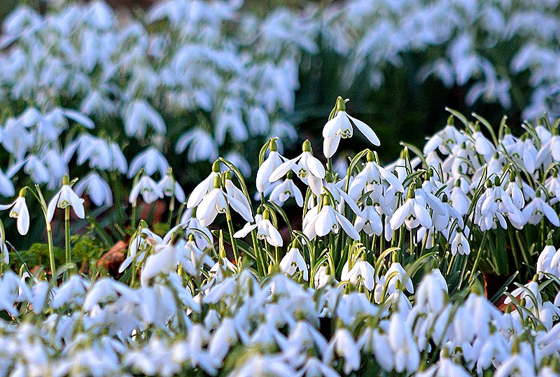 snowdrops in St James Churchyard